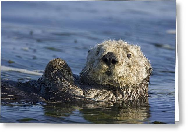 Monterey Bay Image Greeting Cards - Sea Otter Monterey Bay California Greeting Card by Suzi Eszterhas