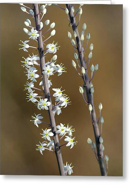 Stigma Greeting Cards - Sea Squill (urginea Maritima) Greeting Card by Photostock-israel