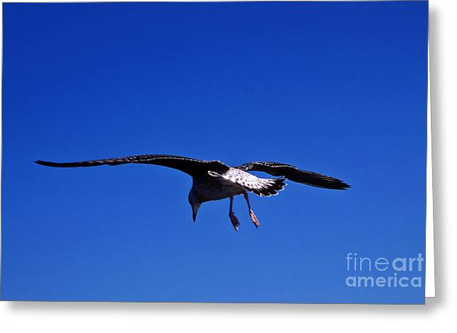 Seagull in flight Greeting Card by John Greim