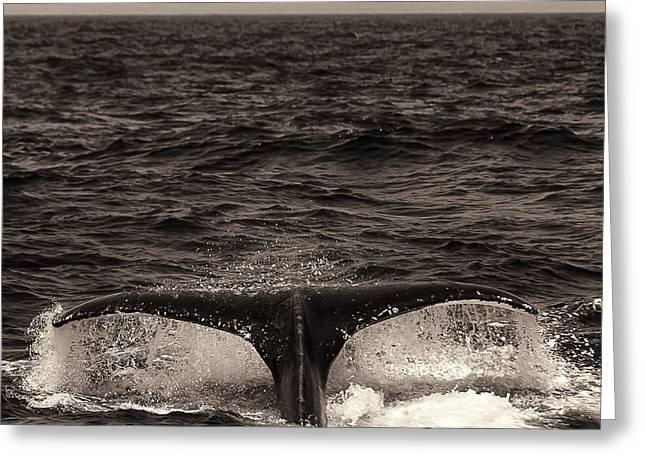 Ocean Mammals Greeting Cards - Sepia Humpback Tail Greeting Card by Darcy Michaelchuk