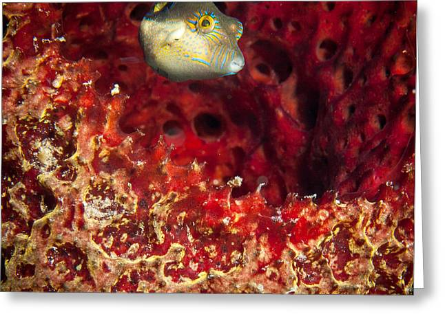 Pufferfish Greeting Cards - Sharp Nosed Puffer Greeting Card by Jean Noren
