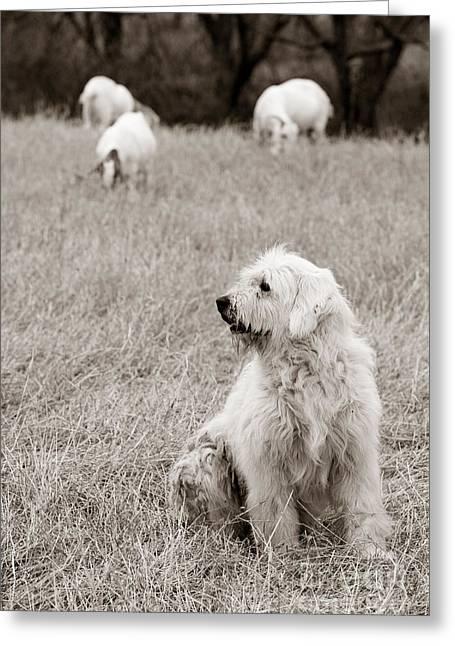Sheepdog Greeting Card by David  Rusch