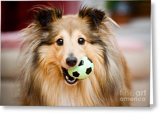 Fur Balls Greeting Cards - Sheltie Greeting Card by Kati Molin