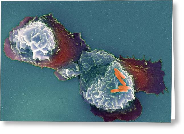 False-colour Greeting Cards - Shigella Sp. Bacteria And Neutrophil Cell Greeting Card by