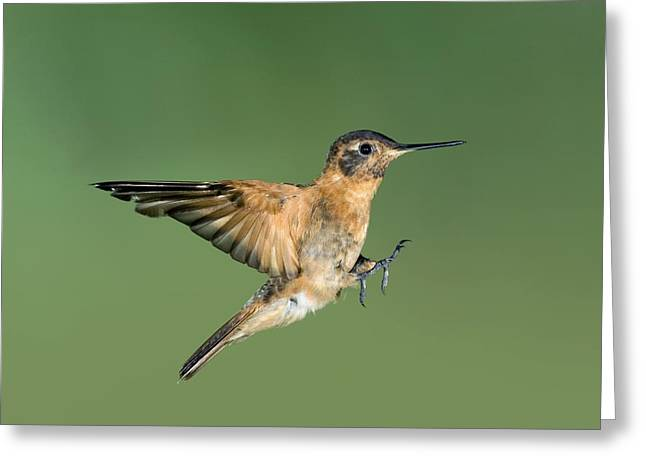 Coloured Plumage Greeting Cards - Shining Sunbeam Hummingbird Greeting Card by Tony Camacho