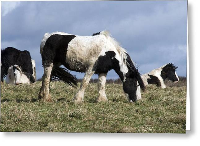 Equus Caballus Greeting Cards - Shire Horses Greeting Card by Sinclair Stammers