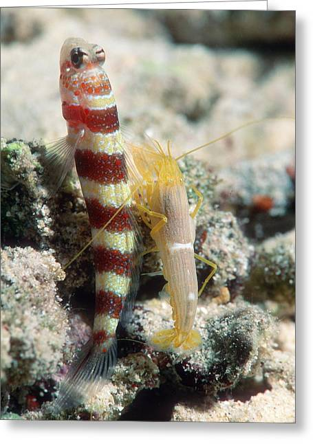 Goby Greeting Cards - Shrimp Goby With Its Partner Shrimp Greeting Card by Georgette Douwma