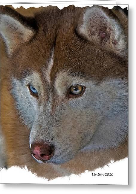 Breeds Ceramics Greeting Cards - Siberian Husky Greeting Card by Larry Linton