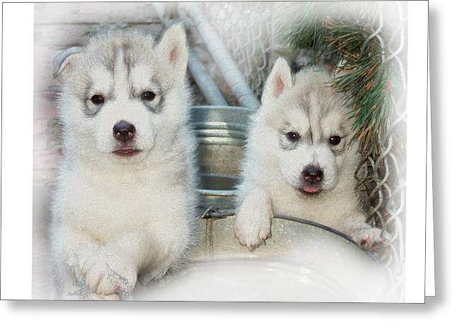 Husky Puppy Greeting Cards - Siberian Husky Puppies Greeting Card by Jean Gugliuzza