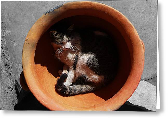 Pictures Of Cats Photographs Greeting Cards - Siesta 3 Greeting Card by Xueling Zou