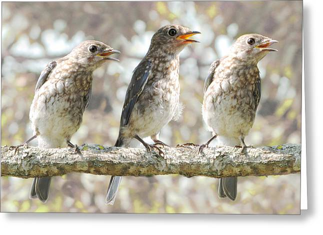 Bird Photography Greeting Cards - Sing Sing Sing Greeting Card by Amy Tyler