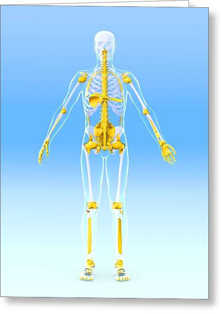 Biomechanics Greeting Cards - Skeleton And Ligaments, Artwork Greeting Card by Roger Harris