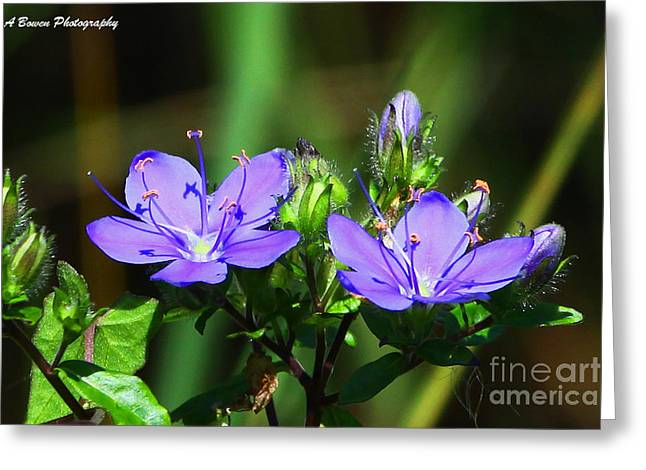 Corymbosa Greeting Cards - Skyflower Greeting Card by Barbara Bowen