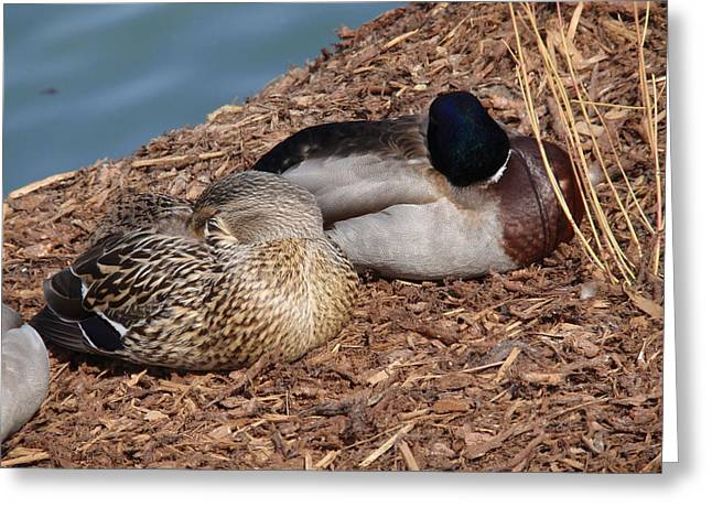 Matting Greeting Cards - Sleeping Ducks Greeting Card by Valia Bradshaw