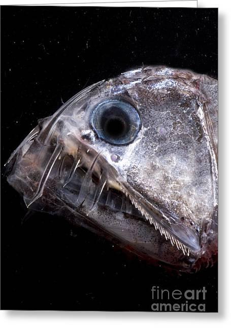 Deepsea Greeting Cards - Sloanes Viperfish Greeting Card by Dante Fenolio