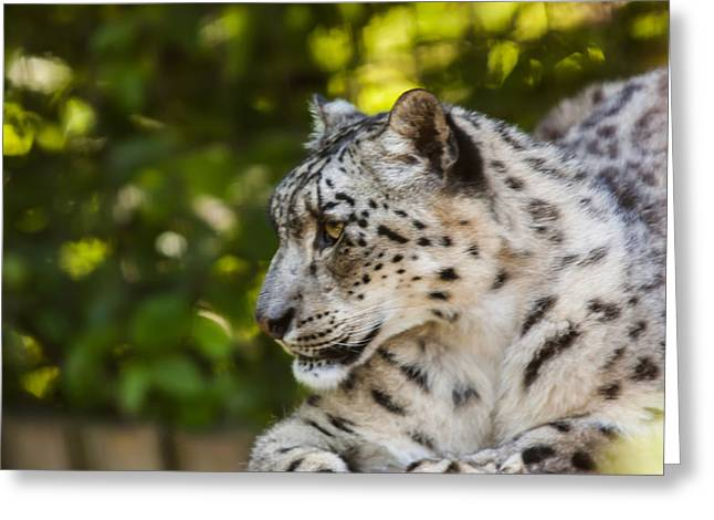 Lioness Greeting Cards - Snow Leopard Greeting Card by Dawn OConnor
