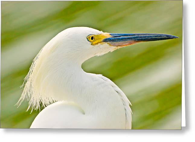 Waterbird Greeting Cards - Snowy Egret Greeting Card by Rich Leighton