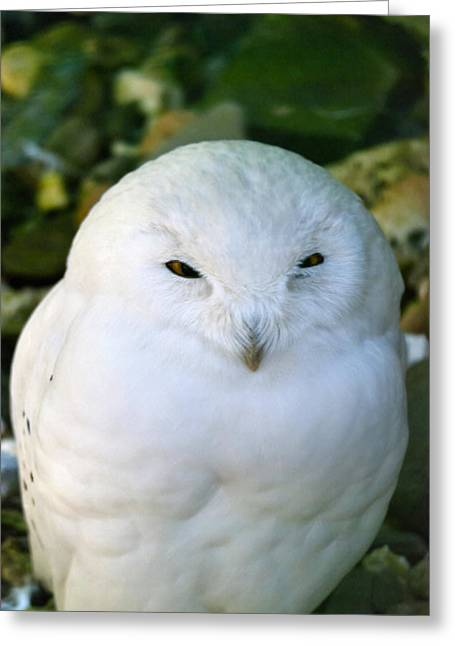 Snowy Owl Greeting Card by Design Windmill