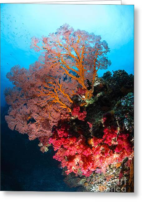 Sea Fan Greeting Cards - Soft Coral And Sea Fan, Fiji Greeting Card by Todd Winner