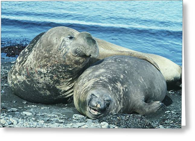 Elephant Seals Greeting Cards - Southern Elephant Seals Greeting Card by Doug Allan