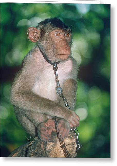 Southern Pig-tailed Macaque Greeting Card by Georgette Douwma