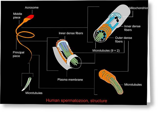 Label Greeting Cards - Sperm Cell, Artwork Greeting Card by Francis Leroy, Biocosmos
