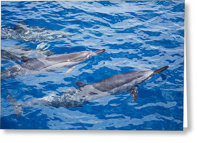 Blows Air Greeting Cards - Spinner Dolphins Greeting Card by Dave Fleetham