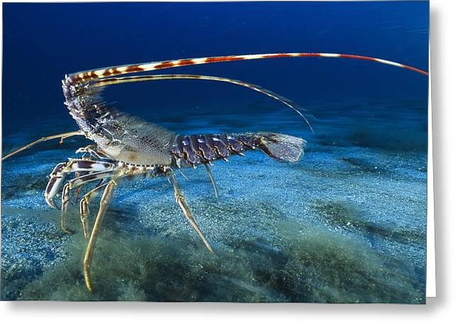 Scuttle Greeting Cards - Spiny Lobster Greeting Card by Alexis Rosenfeld