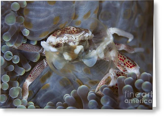 Malacostraca Greeting Cards - Spotted Porcelain Crab Feeding Greeting Card by Steve Jones