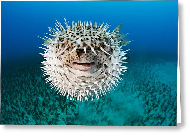 Green Spotted Puffer Fish Greeting Cards - Spotted Porcupinefish Greeting Card by Dave Fleetham