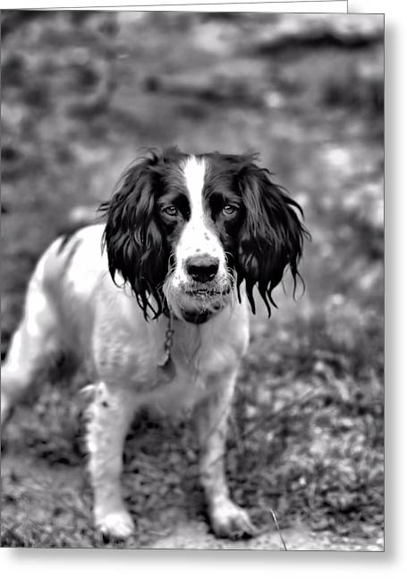 Best Friend Greeting Cards - Springer Spaniel Greeting Card by Marlo Horne