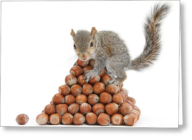Sciurus Carolinensis Greeting Cards - Squirrel And Nut Pyramid Greeting Card by Mark Taylor