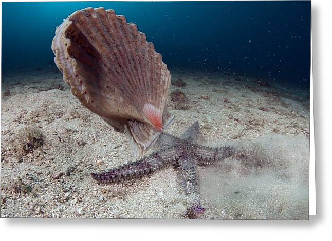 Aquatic Greeting Cards - Starfish Hunting A Scallop Greeting Card by Angel Fitor