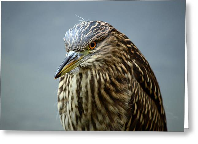Crowned Heron Greeting Cards - Stoic  Greeting Card by Fraida Gutovich