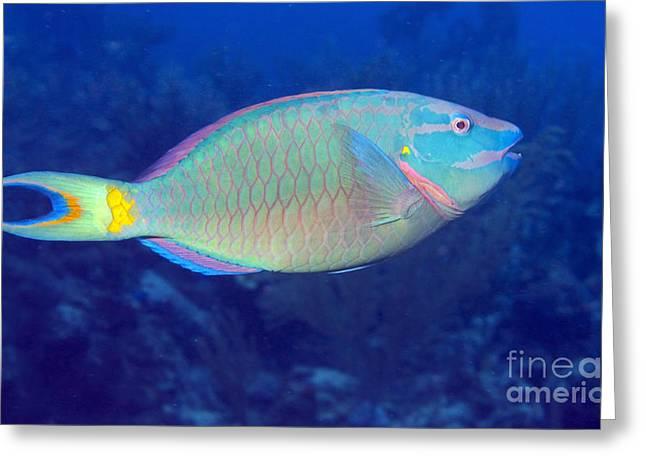 Stoplight Greeting Cards - Stoplight Parrotfish On Caribbean Reef Greeting Card by Karen Doody