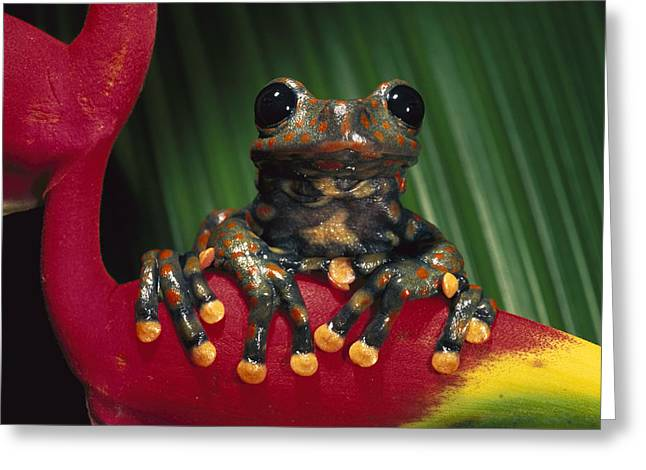 Tree Frog Greeting Cards - Strawberry Tree Frog Hyla Pantosticta Greeting Card by Pete Oxford