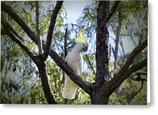 Cockatoo Greeting Cards - Sulphur Crested Cockatoo Greeting Card by Douglas Barnard