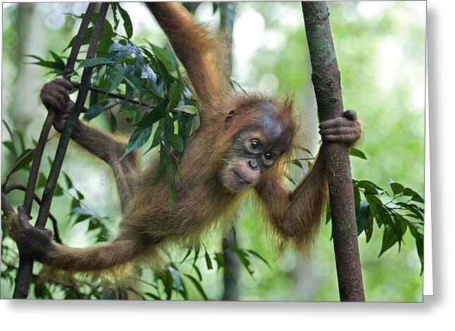 Sumatran Orang-utan Greeting Cards - Sumatran Orangutan Pongo Abelii Baby  Greeting Card by Suzi Eszterhas