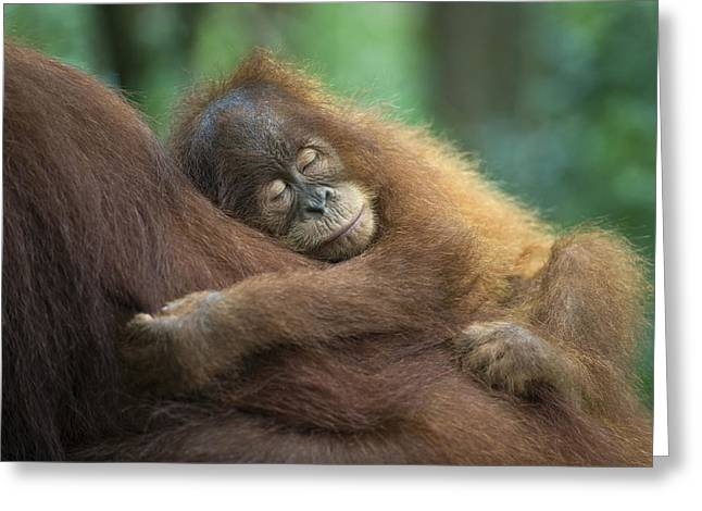 Orang Utans Greeting Cards - Sumatran Orangutan Pongo Abelii Two Greeting Card by Suzi Eszterhas