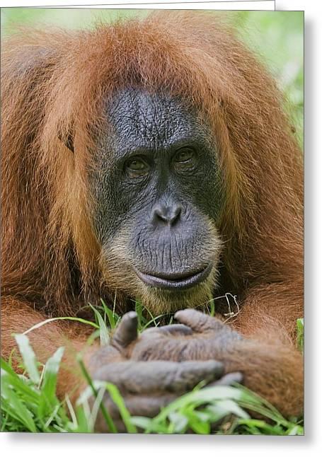 Sumatran Orangutan Greeting Card by Tony Camacho