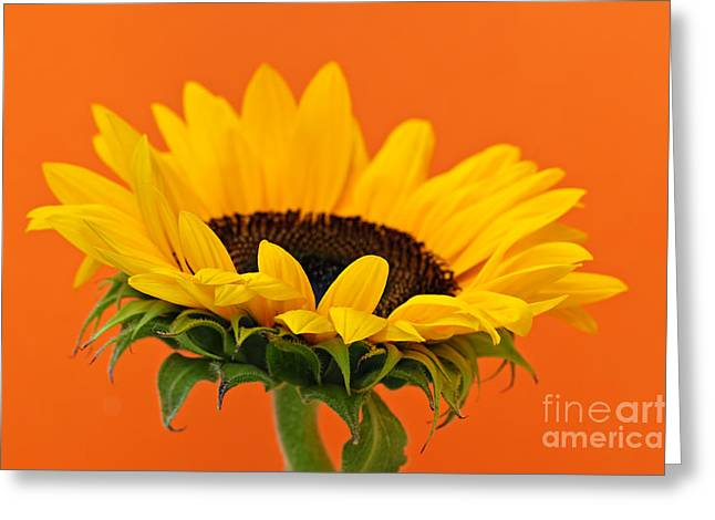 Sunflowers Greeting Cards - Sunflower closeup Greeting Card by Elena Elisseeva