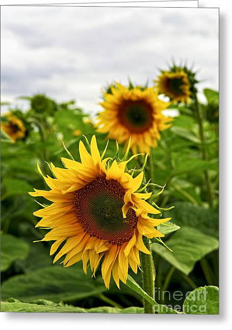 Best Sellers -  - Yellow Sunflower Greeting Cards - Sunflower field Greeting Card by Elena Elisseeva
