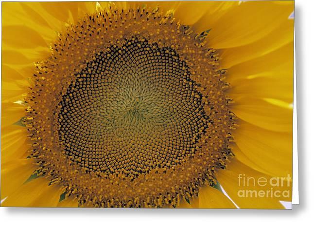 Framed Stamen Greeting Cards - Sunflower Greeting Card by Juan  Silva
