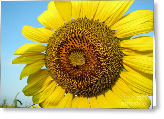 Floral Photography Greeting Cards - Sunflower Series Greeting Card by Amanda Barcon