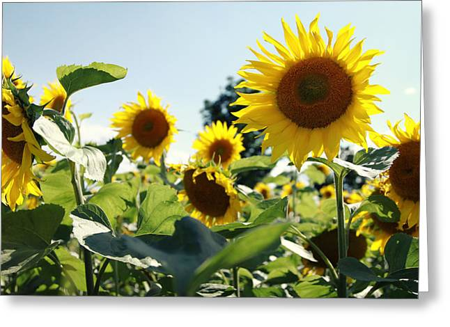 Blume Greeting Cards - Sunflowers Greeting Card by Falko Follert