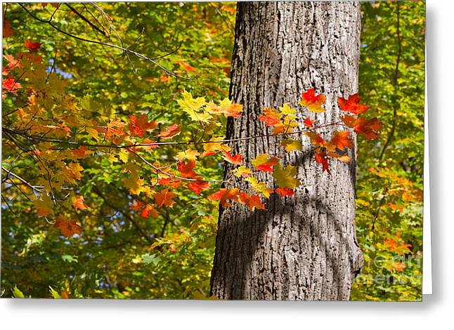 Dappled Sunlight Greeting Cards - Sunlit Maple Leaves in Autumn Greeting Card by Louise Heusinkveld