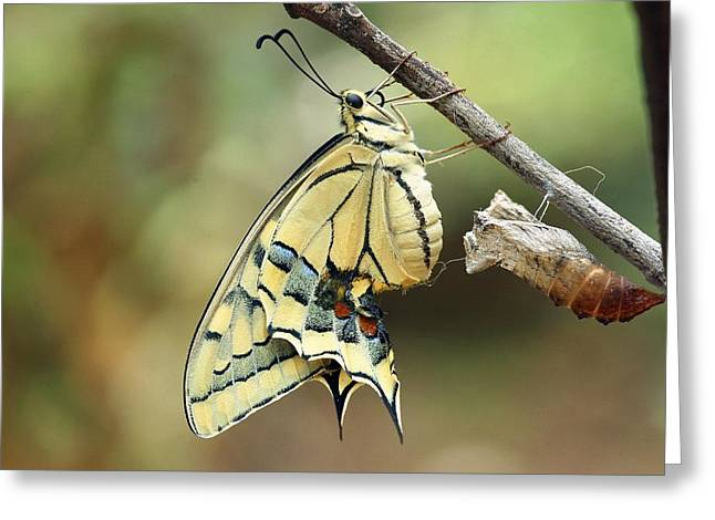 Emergence Greeting Cards - Swallowtail Butterfly Emerging Greeting Card by Photostock-israel