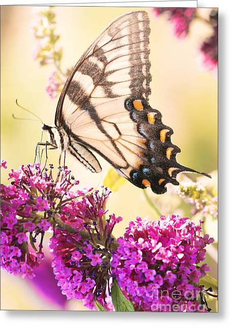 Kim Photographs Greeting Cards - Swallowtail Butterfly Greeting Card by Kim Fearheiley