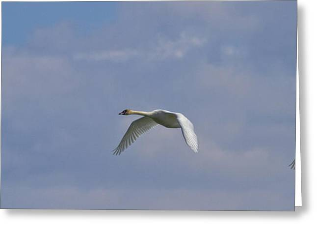 Pairs Greeting Cards - Swans In Flight, Yukon Greeting Card by Robert Postma