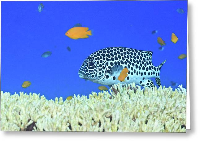 Reef Fish Photographs Greeting Cards - Sweetlips Greeting Card by MotHaiBaPhoto Prints